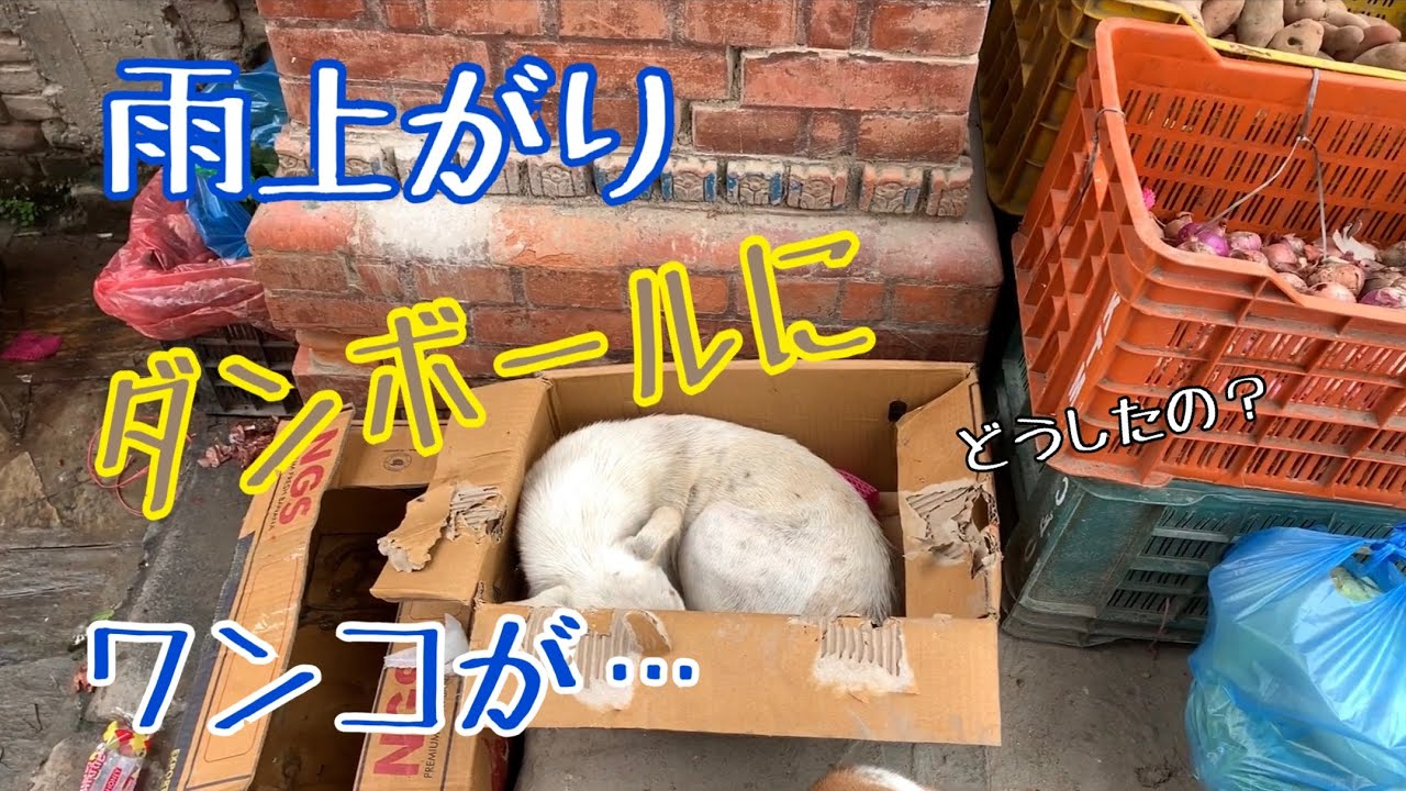 【野良犬支援⑭】雨上がりの街で、段ボールにボロボロ?のワンコが😢大丈夫?
