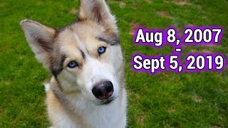 run-free-shelby-the-husky-rip-we-will-miss-you