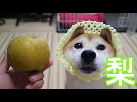 柴犬小春 【好物は待たない】梨をシャクシャク食べる!音フェチ、飯テロ Shiba Koharu eats japanese pears!