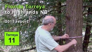 FL Torreya in Highlands NC: 90 yrs de facto rewilding (2015)