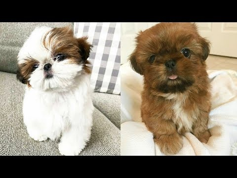 Cute Shih Tzu Puppies And Dogs Videos Compilation