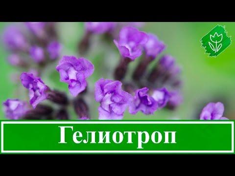 Цветок гелиотроп – выращивание из семян, уход и посадка гелиотропа; свойства гелиотропа