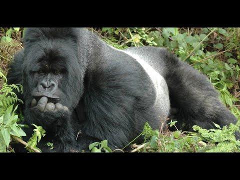 WEBINAR | Visiting the World of Mountain Gorillas