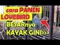 Cara Panen Lovebird Ternyata Besar Di Glodok Bamis Lovebird Farm  Mp3 - Mp4 Download