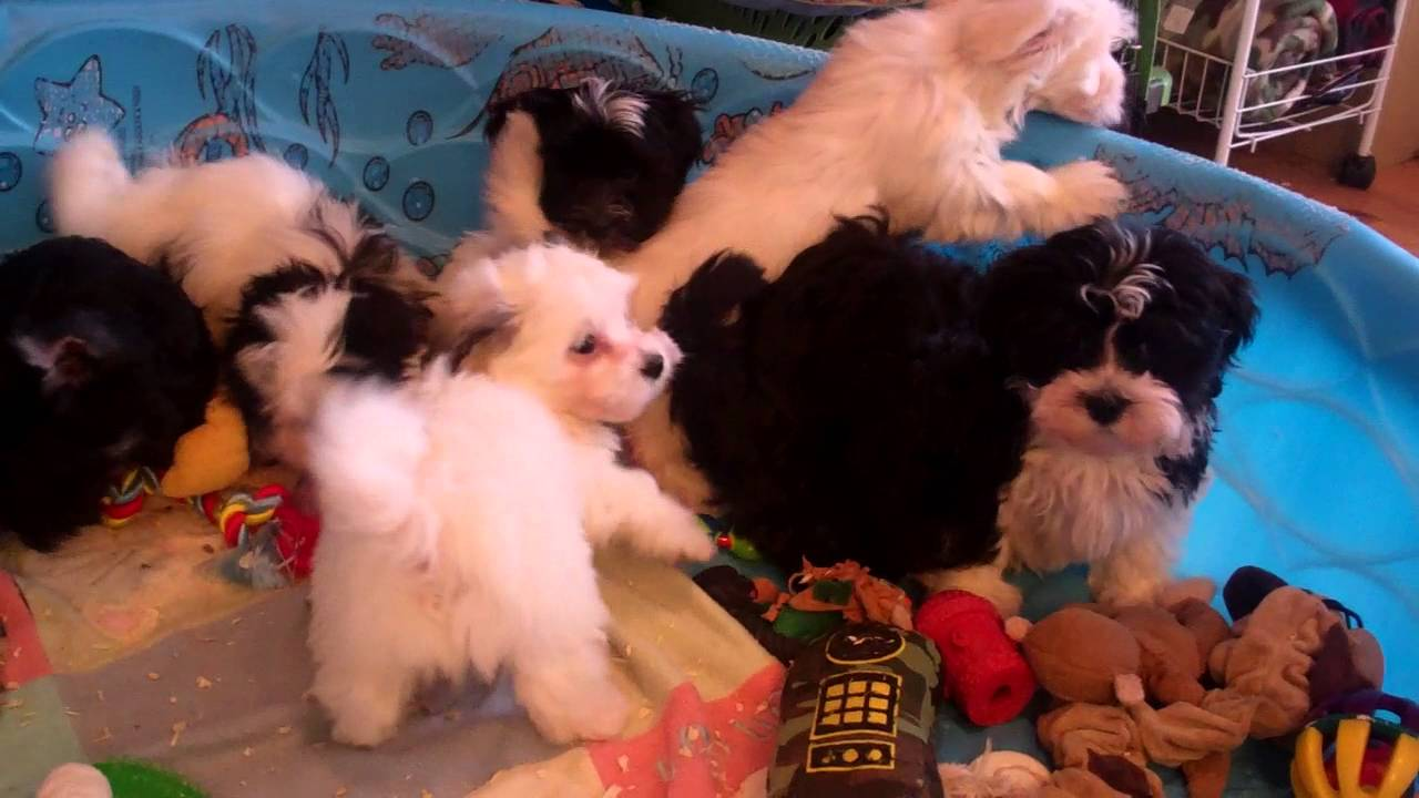 Havanese & Havaton Puppies for sale in Central Pennsylvania