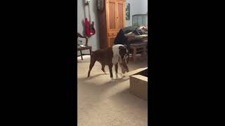 Boxer Excited to Meet New Puppy in Box  1027558