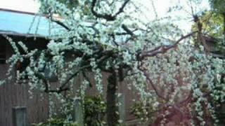 [20090226] 結城神社の梅 - 三重県津市