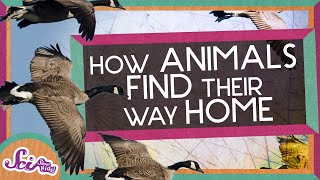 How Animals Find Their Way Home!