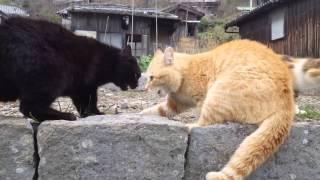 猫の島として有名になってきた愛媛県の青島にて。 ケンカしている時間が...