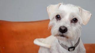 Cute, but dirty, scruffy dog gets a bath