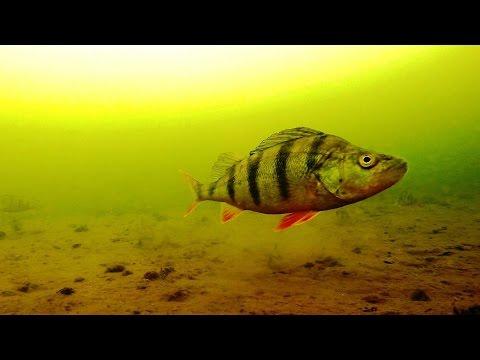 Подводные съемки / Реакция окуня на балду