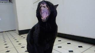 Epic Cat Yawn