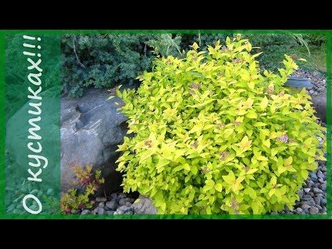 """Спирея японская Голдмаунд.- золотой """"холмик"""" в вашем саду.Что посадить в саду"""