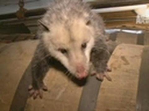 Opossum Live Action! | Call of the Wildman