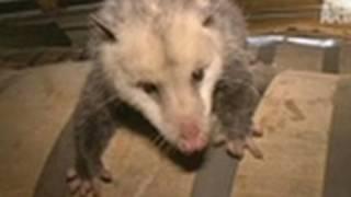 Opossum Live Action!   Call of the Wildman