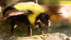 Bumblebees in 4K Slow Motion - Amazing !! (S2 E1) (4K Ultra HD)
