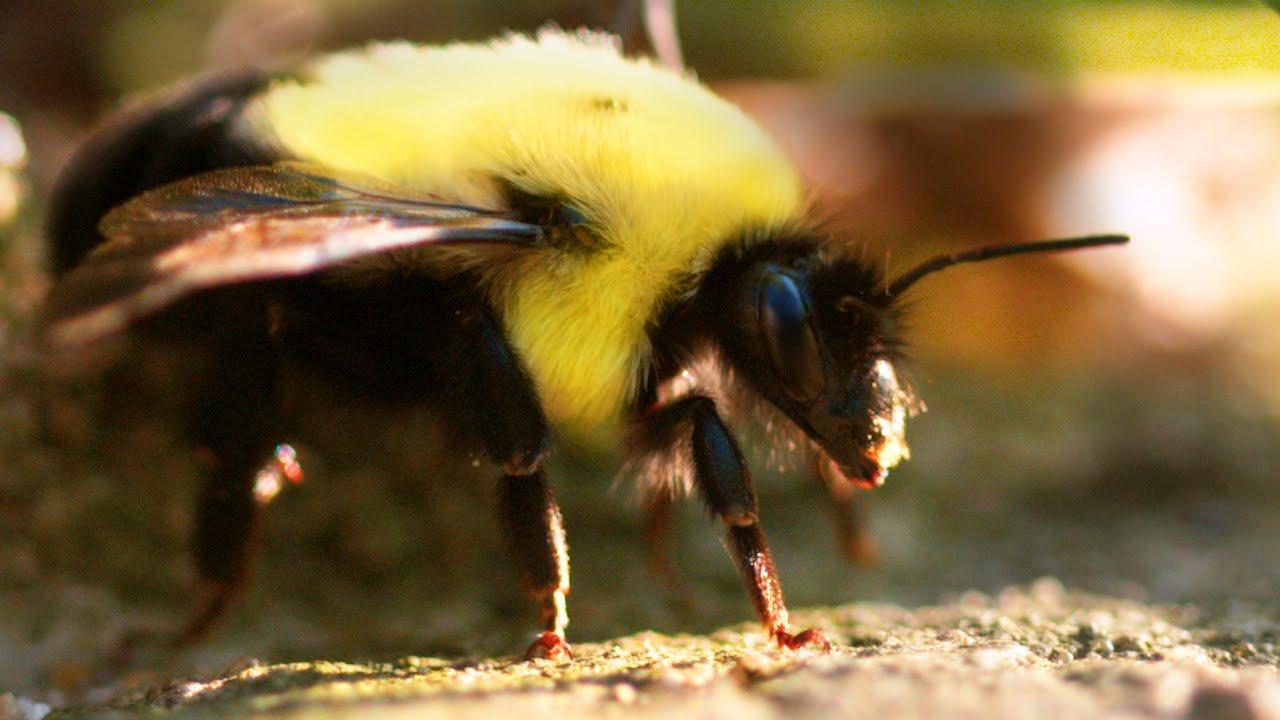 Bumblebee - 3D Animal
