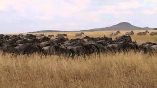 タンザニアのセレンゲティ国立公園でのヌーとシマウマの移動の映像です。
