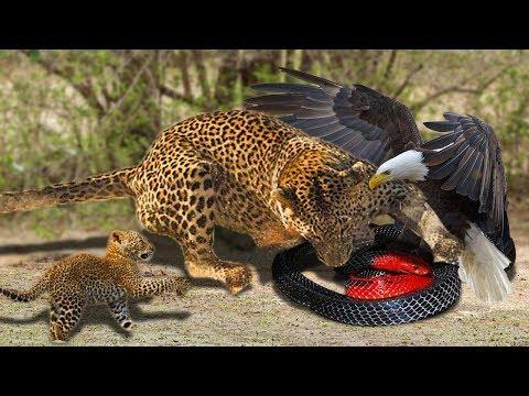 Mãe Leopardo E Seu Filhote Salvam A águia De Caça De Cobra- Animal Selvagem Salva