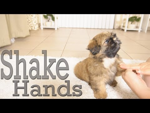 how-to-train-your-puppy-to-shake-hands-|-shih-tzu-too-cute