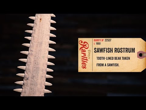 Rare And Deadly Sawfish Rostrum
