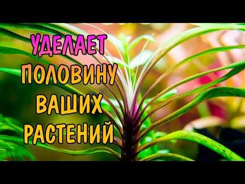 ЭЙХОРНИЯ ЛАЗОРЕВАЯ ( Eichhornia azurea )
