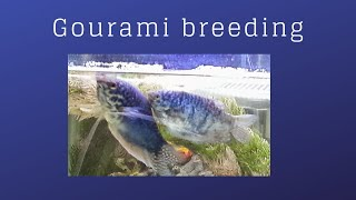 Blue & Opaline Gourami Breeding  Spawning