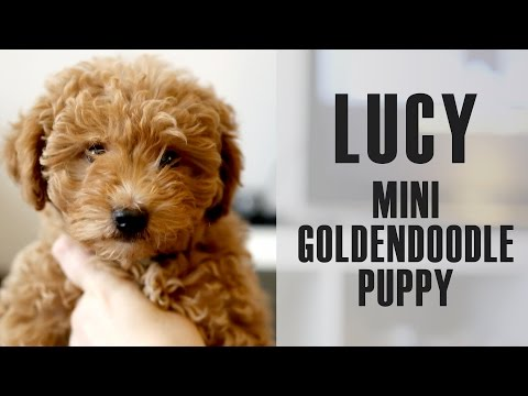 Mini goldendoodle Lucy comes home - 9 week old puppy