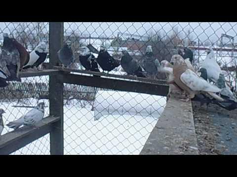 Копия видео Голуби Свердловские высоколетные рябые 2014год Кушва