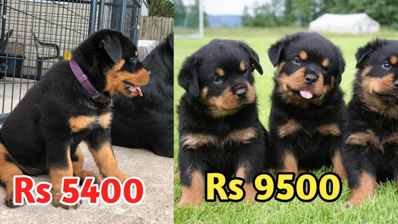 Rottweiler Price Difference Rottweiler Price Heavy Bone And Low Bone Dog Price Youtube