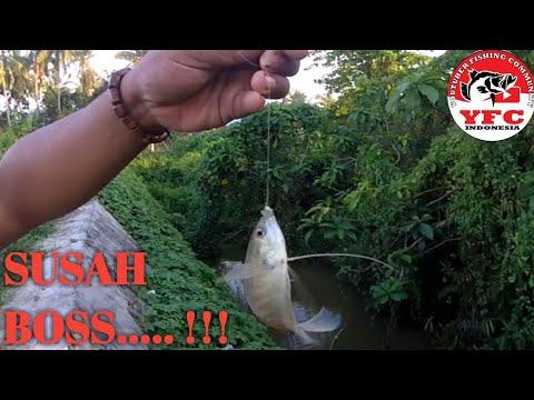 Umpan Ikan Mas Babon Bikin Tetangga Jadi Penonton Juga Disukai Ikan Tawes Youtube