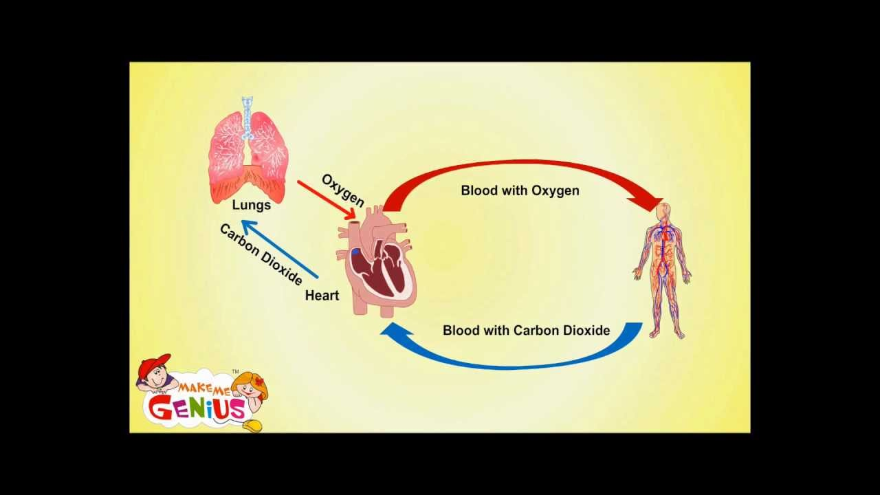 Circulatory System Cardiovascular System Facts Functions For Kids