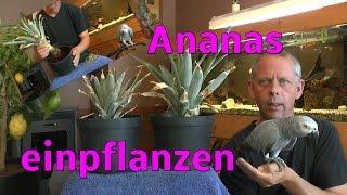 Ananas vermehren, ganz einfach und ich zeige euch wie es geht. Viel Spaß Teil 2