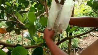 Cách chiết cây mít kích cành tại nhà