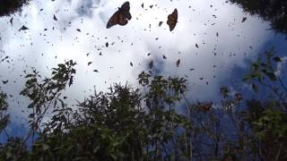 AMAZING- thousands of Monarchs flying- Mexico