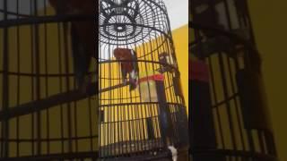 Repeat youtube video Burung sexy lagi mabok janda