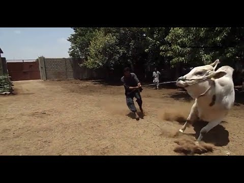 funny cow video - cow attack very funny   video dailymotion