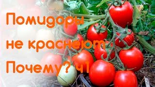 видео Почему в теплице плохо зреют и не краснеют помидоры