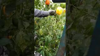 파프리카 농장 일(capsicum farm work K…