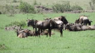 YHA Kenya Travel Tours And Safaris- Wildlife Safaris Masai Mara.