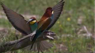 les oiseaux du lac kerkini la toute dernière version retravaillée avec FCPX