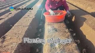 Beautiful ginger farm- ginger farming ginger exporter SIGMA FARM