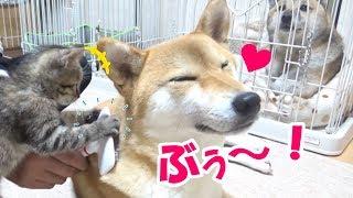 柴犬リコのブラッシングをしていたら、子猫リリがお手伝い? ブラシに興...