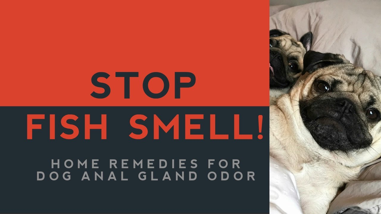 Smells anal gland Dog