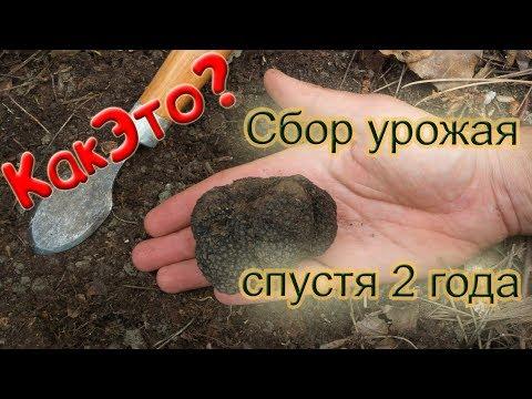 купить мицелии грибов трюфель