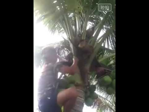 Amazing dwarf coconut tree 😎