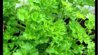 Сад и огород. Петрушка и сельдерей(, 2012-02-24T17:25:13.000Z)