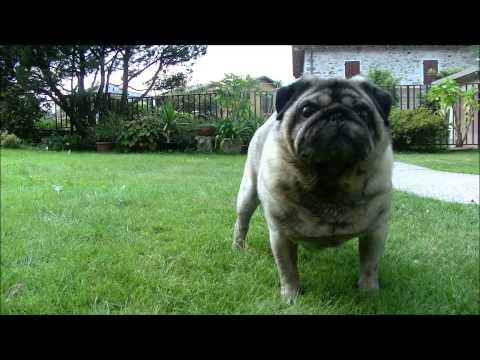 Penny Corgi - Penny visits uncle Bucky the pug