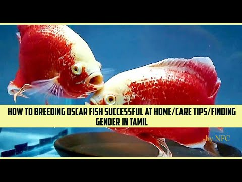 How To Breeding Oscar Fish Successful At Home/Care Tips/Finding Gender In Tamil