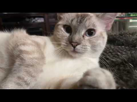 Cute Siamese Cat Purring ASMR #Aww